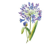 Watercolor blue flower royalty free illustration