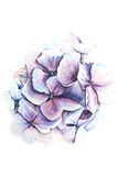 Watercolor blue hydrangea illustration. Watercolor blue hydrangea botanical illustration Royalty Free Stock Photography
