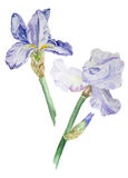 Watercolor blue iris flowers. Watercolor hand drawn blue iris flowers on white background vector illustration