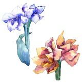Watercolor blue and orange amaryllis flower. Floral botanical flower. Isolated illustration element. stock illustration