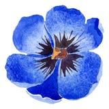 Watercolor blue tulip flower. Floral botanical flower. Isolated illustration element. Aquarelle wildflower for background, texture, wrapper pattern, frame or vector illustration