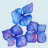 Watercolor blue violet three hydrangea flower composition Stock Images