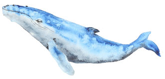 Watercolor blue whale. Hand painted watercolor blue whale in cartoon style. Sea mammal.  on white Stock Photos