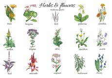 Watercolor botanical illustration of medicine plants. vector illustration