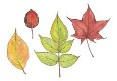 Watercolor botanical illustration of autumn leaves. stock photography
