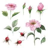 Watercolor botanical illustration of dogrose. Medicinal plant. Floral set of pink flowers, buds, leaves and fruits. Stock Image