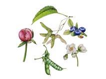 Jasmine flowers, peony Bud, pea pods. Watercolor Botanical illustration of flowers and leaves isolated on white background. Summer sketch. Jasmine flowers, peony stock illustration