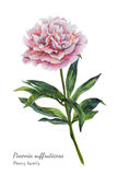 Watercolor botanical illustration of pink peony. Traditional realistic vintage style Royalty Free Stock Image