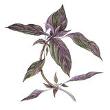 Watercolor botanical painting of basil. Royalty Free Stock Photo