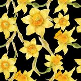 Watercolor botanical realistic floral pattern with narcissus. Bright yellow daffodil on a black background, path included Royalty Free Stock Photography