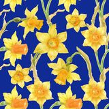 Watercolor botanical realistic floral pattern with narcissus. Bright yellow daffodil on a blue background, path included Royalty Free Stock Photo
