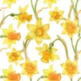 Watercolor botanical realistic floral pattern with narcissus. Bright yellow daffodil on a white background, path included Royalty Free Stock Photos