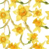 Watercolor botanical realistic floral pattern with narcissus. Bright yellow daffodil on a white background, path included Stock Photos