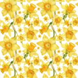 Watercolor botanical realistic floral pattern with narcissus. Bright yellow daffodil on a white background, path included Stock Images