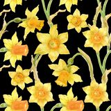 Watercolor botanical realistic floral pattern with narcissus. Bright yellow daffodil on a black background, path included Royalty Free Stock Image