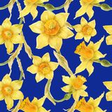 Watercolor botanical realistic floral pattern with narcissus. Bright yellow daffodil on a blue background, path included Stock Photography