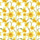 Watercolor botanical realistic floral pattern with narcissus. Bright yellow daffodil on a white background, path included Royalty Free Stock Photography