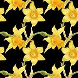 Watercolor botanical realistic floral pattern with narcissus. Bright yellow daffodil on a black background, path included Stock Photo