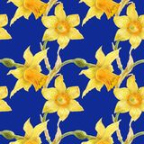 Watercolor botanical realistic floral pattern with narcissus. Bright yellow daffodil on a blue background, path included Stock Photos