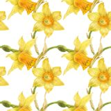 Watercolor botanical realistic floral pattern with narcissus. Bright yellow daffodil on a white background, path included Stock Photo