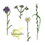 Watercolor botanical set with wild flowers. Camomile, thistle  Stock Image