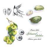Watercolor botanical sketches Stock Photo