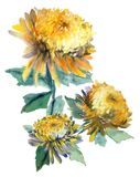 Watercolor bouquet of chrysanthemum. Stock Images