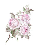 Watercolor bouquet of delicate vintage roses  on white Royalty Free Stock Images