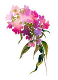 Watercolor bouquet of phlox. Royalty Free Stock Photography