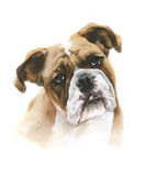 Watercolor boxer dog on white background. As illustration Royalty Free Stock Image