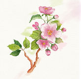 Watercolor branch of cherry blossoms. Branch of cherry blossoms. Illustration on watercolor textured paper Stock Photography