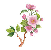 Watercolor branch of cherry blossoms Royalty Free Stock Photography