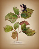 Watercolor branch of elderberry. Botanical  illustration on textured paper Stock Photos