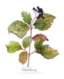 Watercolor branch of elderberry. Botanical  illustration on white background Stock Photo