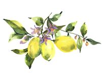 Watercolor branch of fresh citrus fruit lemon, green leaves and flowers. Natural illustration isolated on white background vector illustration