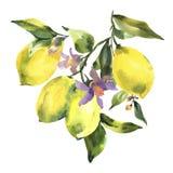 Watercolor branch of fresh citrus fruit lemon, green leaves and flowers vector illustration