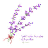 Watercolor branch of lavender Royalty Free Stock Image