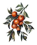 Watercolor branch of tangerines stock illustration