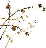 Watercolor branches of larch Royalty Free Stock Photography