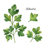 Watercolor branches and leaves of cilantro. Stock Photo