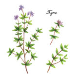 Watercolor branches and leaves of thyme. Stock Photography