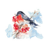 Watercolor bullfinch and ashberry isolated in a white background. Watercolor bullfinch sitting in a branch of the ashberry. Isolated in a white background Royalty Free Stock Images