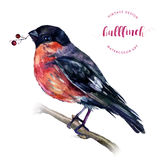 Watercolor Bullfinch on a branch. Watercolor Bullfinch on a bare branch with berry in its beak isolated on white. Drawing of a bird with grey and pinkish stock illustration