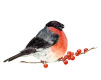 Watercolor bullfinch on a branch with red berries. Hand painted bird with winter berries on white. Christmas symbol. Watercolor bullfinch on a branch with red vector illustration