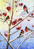 Watercolor bullfinch drawing Stock Images