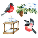 Watercolor Bullfinch isolated on white. Drawing of a bird with winter branch and nesting box.  Royalty Free Stock Photography