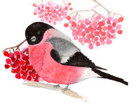 Watercolor bullfinch with rowan. Watercolor bullfinch with bunches of rowan on white background Stock Photo