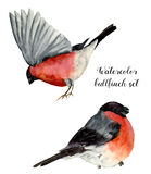 Watercolor bullfinch set. Hand painted birds with grey and pinkish plumage on white background. Christmas symbol. Winter. Birdie with red breast feathers Stock Photography