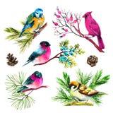 Watercolor bullfinch, titmouse, καρδινάλιος και σπουργίτι στους κλάδους Στοκ Εικόνες