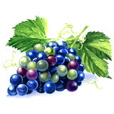 Watercolor bunch of blue grapes Royalty Free Stock Image